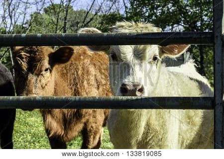 White and red calves looking through a metal gate