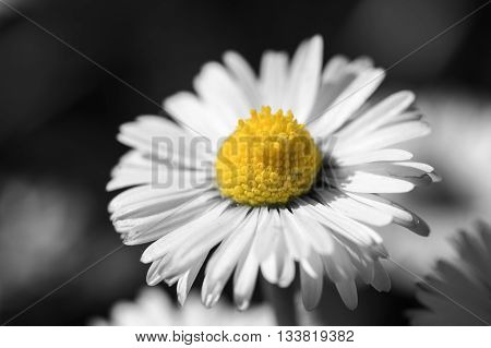 macro daisy in the meadow in black and white except the yellow pollen