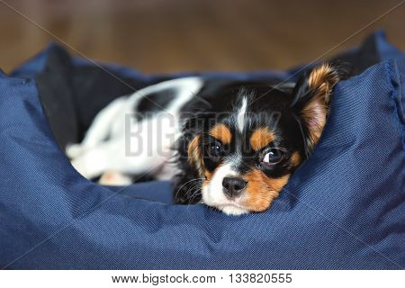 cute puppy of a dog - cavalier spaniel sleeping