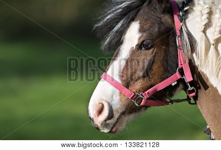 portrait of cute pony in red halter