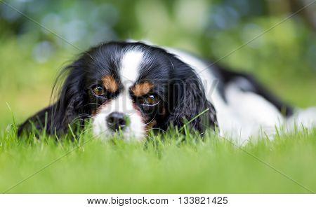 cute dog cavalier spaniel on the grass