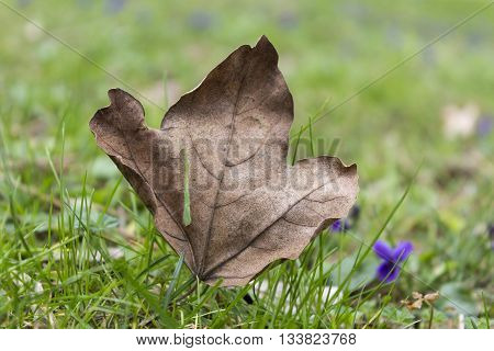Autumn withered maple leaf and small blue flowers on the green grass in the spring