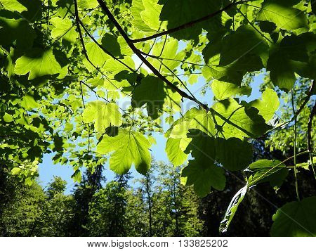 maple leaves in the forest , green leaves of maple