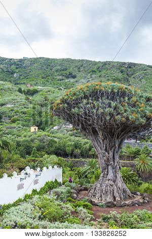 Famous Dragon Tree (dracaena Draco) Among Palm Trees At Icod De Los Vinos In The Northwest Of Teneri