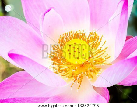 close up shot on head of lotus flower showing soft color on carpel and petal