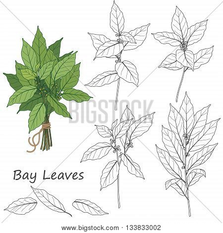 Set of outlined branch of laurel tree isolated on white. Bundle of green bay leaves tied with string.