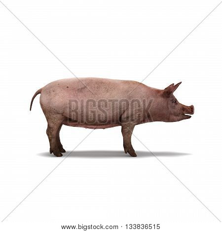 Pig On White Background Isolated 3D Rendering