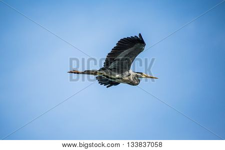 Great Blue Heron in flight with wings high