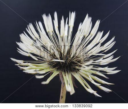 wet dandelion on dark background closeup shot