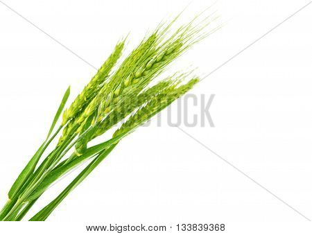 agricultural Green wheat isolated on white background