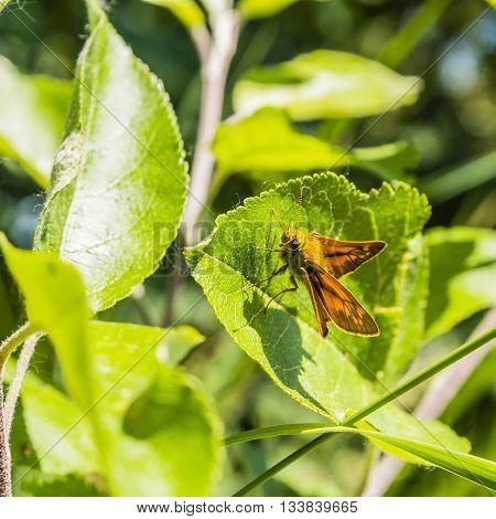 Butterfly Large skipper (Ochlodes venatus Ochlodes sylvanus Ochlodes faunus) on a leaf.