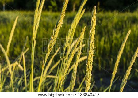 Spikelets - Leymus Arenarius (l.) Hochst. (elymus Arenarius L.).