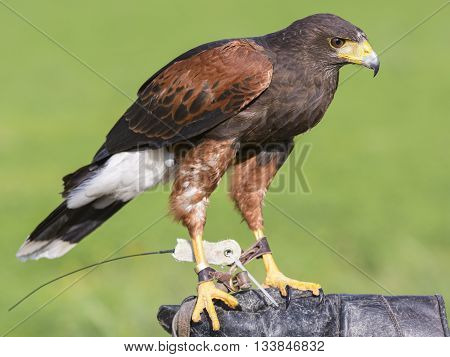 harris hawk bird outdoor on glove falconer