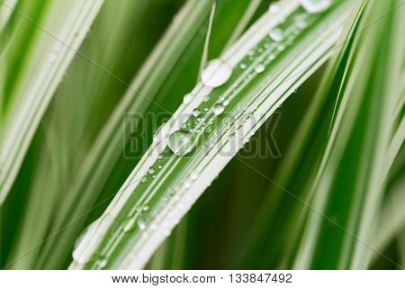 Decorative sedge with drops of water. The white-green grass closeup after rain. Shallow depth of field