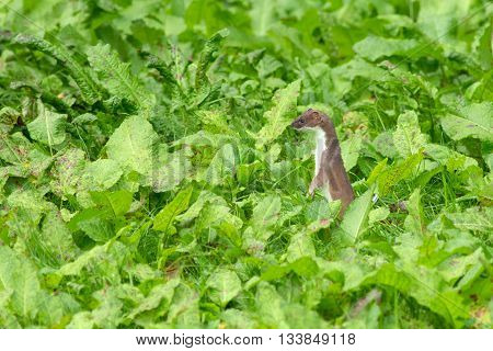 Stoat in dense green English vegetation looking for food
