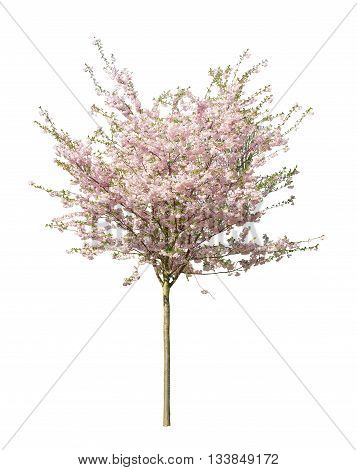 Blooming pink cherry tree on a white background.