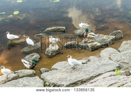 Birds and animals in wildlife. Amazing mallard ducks animal on stone under sunlight view. Animal landscape landscape. Awesome duck animal in wildlife. animal in water.