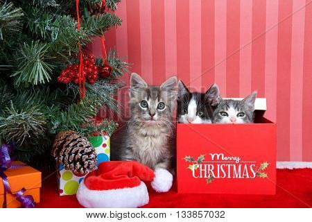 Gray tabby kitten next to a christmas tree with presents on red fuzzy floor striped red and off white background two kittens peaking out of present box next to him. Friends for Christmas