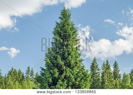 spruce forest on the background of blue sky