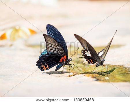 Close Up Great Mormon butterfly eating salty soil as food