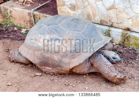 Giant Turtle Stretching On The Ground