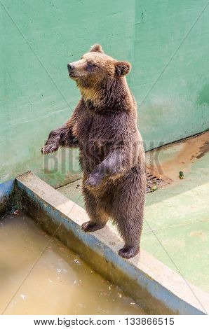 Brown Bear Waiting For Food