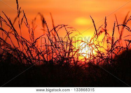Sun set looking through tall grass