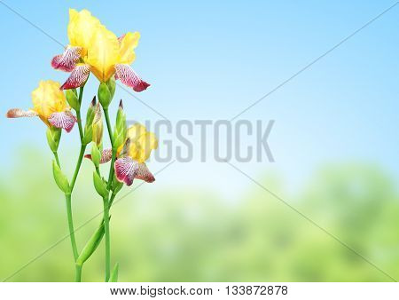 Flowers of iris of yellow and purple colors. On blurred nature background