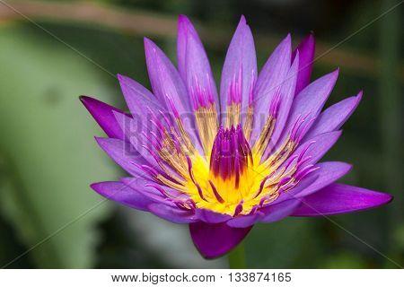 violet lotus blooming flower in park thailad