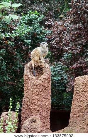 A Meerkat standing on sentry duty turning its head to look up to the sky