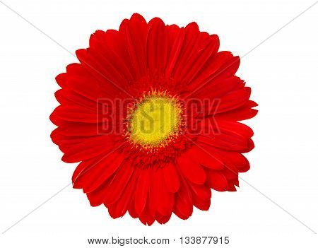 flower red gerbera isolated on white background