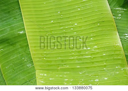 Cut the banana leaves from banana trees