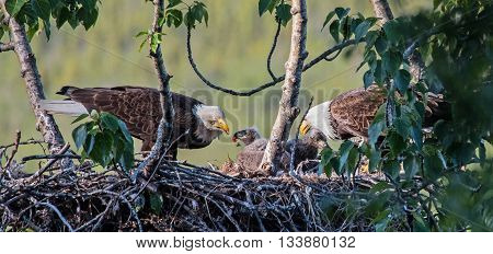 Two adult bald eagles feed their chicks on the nest