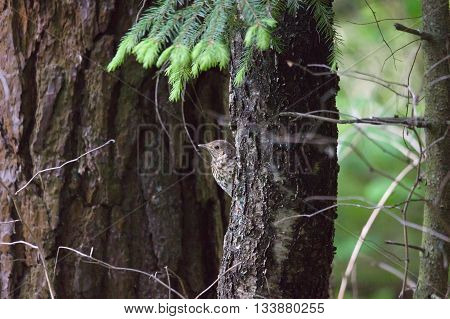 Small Bird Creeps On The Trees
