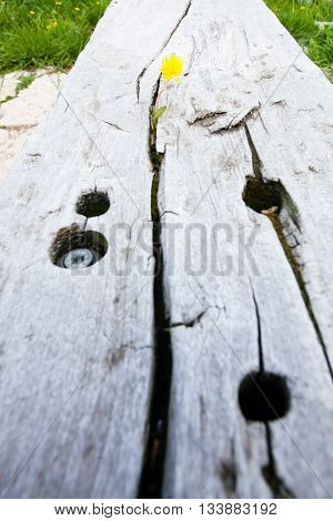 Flower growing in a timber slot. Taraxacum officinale detail.