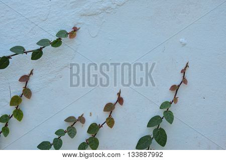 Mexican daisy climbing on home white cement wall