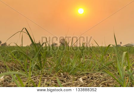 Sugarcane is grown on the farm against the background of sunsets in the evening.