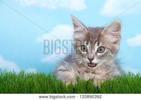 Gray long haired tabby kitten with mouth open laying on green grass blue background with white clouds