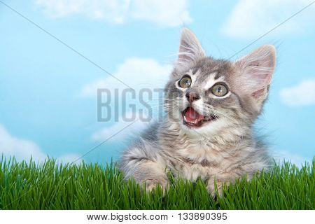 gray and white long haired tabby kitten, mouth open as if talking, laying on green grass with blue background white clouds