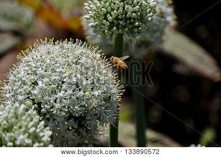 Allium Bulbs Mount Everest (Allium stipitatum) with European bee pollinating flowers in garden estate mid flight.
