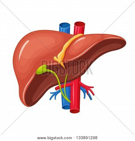 Human liver anatomy. Liver medical science vector illustration. Internal human organ: liver and gallbladder, aorta and portal vein, hepatic duct. Human liver anatomy education illustration