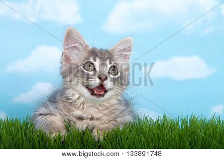 gray long haired tabby kitten on long green grass with blue background white clouds