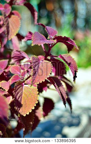 Close up of Coleus leaves (Painted nettle,Flame nettle).Colors of the leaves.