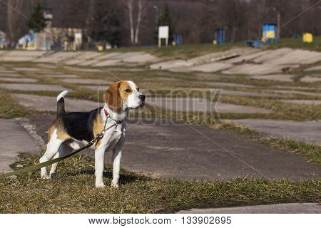the dog breed beagle is standing on green grass