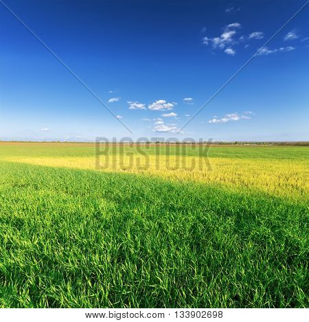 wheat field photo bright sunny day Ukraine