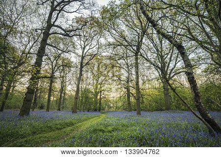 Stunning Landscape Image Of Bluebell Forest In Spring