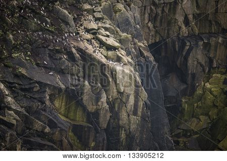 Colony Of Guillemot Murre Birds Nesting And Roosting On Cliff Face