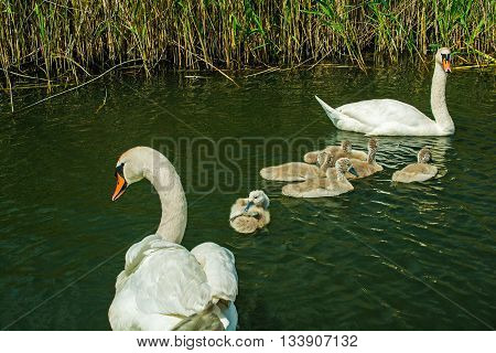 swan family on the lake. swans with nestlings. swan with chicks