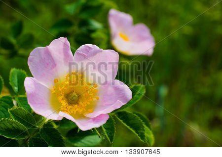 pink flowers of rose hip. soft focus. rose briar flower