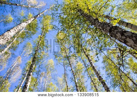 Gorgeous birch rushed up creates the effect of looking up and feeling the rustle of the wind on the leaves